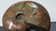 Natural iridescent ammonite - 92 x 75 mm - 209 g