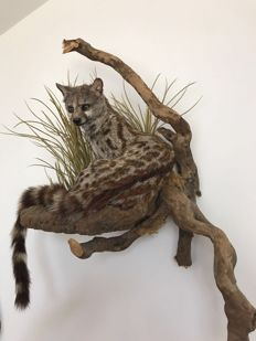 Museum quality taxiderny - Small-spotted Genet, full-body mount, on naturalistic wall-hanger - Genetta genetta felina -  60 x 50cm