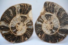 Large cut and polished ammonite - Choffaticeras sp. - 22.5 cm