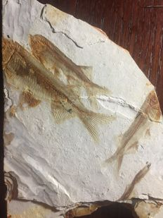 Fossil fishes on a slab - Lycoptera sp. - 17 x 11 cm