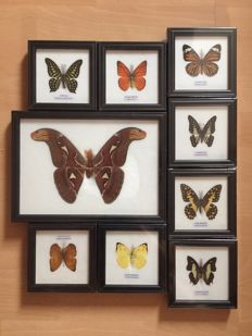 Nice collection of named Asian Butterflies, with Atlas Moth - the world's largest Moth species - 12.3 x 12.3cm and 27.5 x 19.7cm  (9)