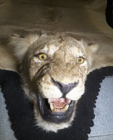 First-rate taxidermy - African Lioness skin, with detailed head - Panthera leo  2,55 x 2,1m - Import No. 17-EN-LX00856-C