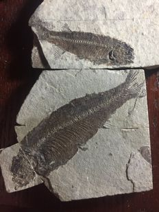 Natural fossil fishes without dye treatment - Lycoptera sp. (2)