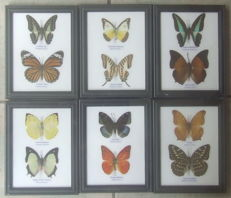Interesting and colourful collection of twelve Exotic Butterflies - 17.5 x 13.5cm  (6)