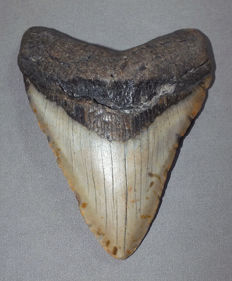 Fossil shark tooth - Carcharocles Megalodon - 11,5 cm