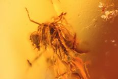 Baltic Amber with inclusion of an insect - 13 x 11 x 9 mm + high resolution photo