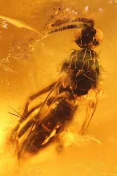 Baltic Amber with inclusion of an insect - 12 x 10 x 4 mm + high resolution photo
