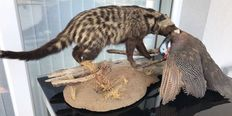 Museum quality taxidermy - African Civet, full-body mount, with Guineafowl as prey - Civettictis civetta and Numididae sp. - 100 x 40cm