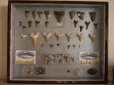 Very fine, wall-hung display case containing assorted Fossil Shark Teeth, with Fossil Crab - 51 x 42.2cm