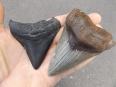 Fossil shark teeth  - Carcharodon Megalodon - 10.1 and 7.1 cm (2 pieces)