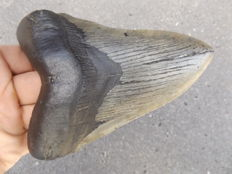 Large fossil shark tooth - Carcharocles megalodon - 14.3 cm