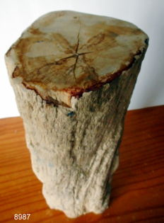 Trunk of Petrified Wood - 35.5 x 13 - 8 kg