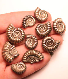 Group of iron pyrite Ammonite Fossils - Promicroceras pyritosum - 15–22mm (10)