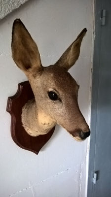 Taxidermy - Roe Deer Doe on carved shield - Capreolus capreolus - 45 x 22 x 27cm