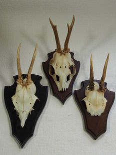 3 Deer antlers on oak shield - real skull.