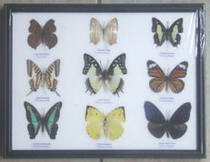 Collection of exotic Asian Butterflies in a wooden frame - 32 x 25cm