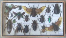 Fine Exotic Insect collection in wood display case - 35 x 20cm