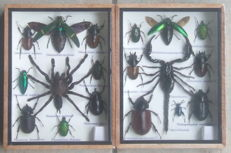 Pair of fine Entomology collection boxes, including Tarantula and Scorpion - 20 x 15cm  (2)