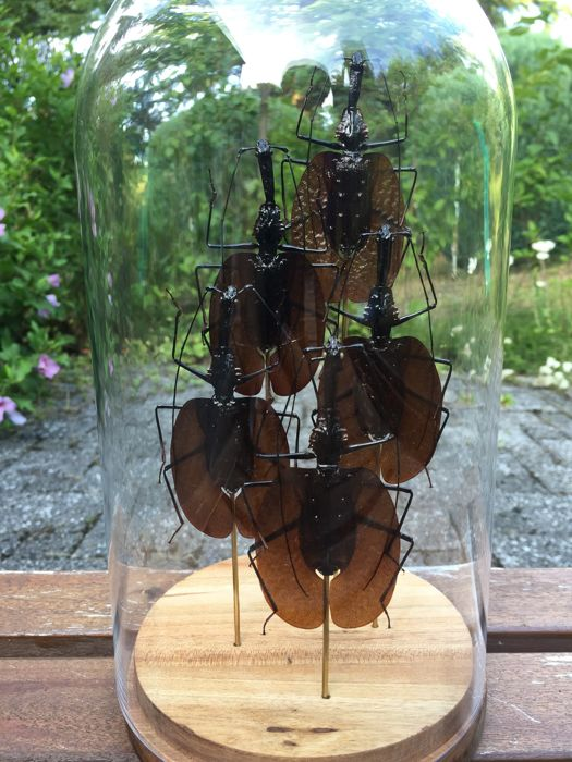 Fine set of 5 Violin Beetles in glass dome, with Acacia wood base - Mormolyce phyllodes - 14 x 28cm