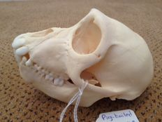Southern Pig-tailed Macaque, fine skull - Macaca nemestrina - 13 x 8cm - 102gm