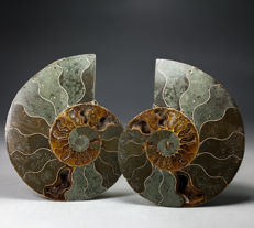 Elegant pair of polished ammonite halves - Aioloceras sp. - 11,5 x 9,5 cm - 368 g