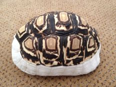 Leopard Tortoise - full carapace - scales removed to expose skeleton - Stigmochelys pardalis - 13 x 9cm - 108gm