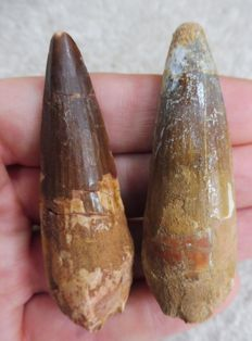 Spinosaurus Teeth - 6.7 cm and 6.5 cm