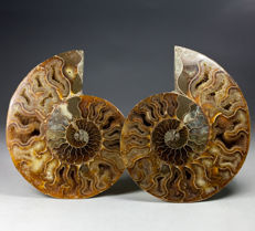 A pair of polished ammonite halves - Aioloceras sp. - 13 x 10,5 cm - 438 g