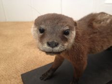 Taxidermy - young Clawless Otter - Aonyx cinerea - 48cm - 1280gm