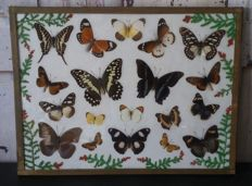 Vintage Butterfly display - various species - 40.5 x 30.5cm