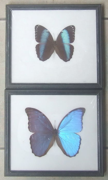 Fine pair of framed Morpho Butterflies - Didius and Achilles - 22 x ...