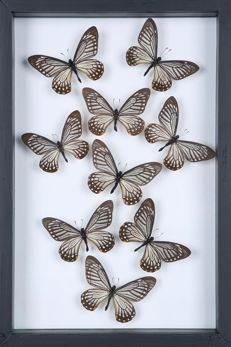 Interesting Great Zebra Butterfly display in see-through glazed case - Graphium xenocles - 30 x 20cm