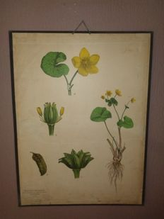 "Beautiful more than 100 year old botanical school poster of the ""Dotter flower, Caltha Palustris"" also called small lump."