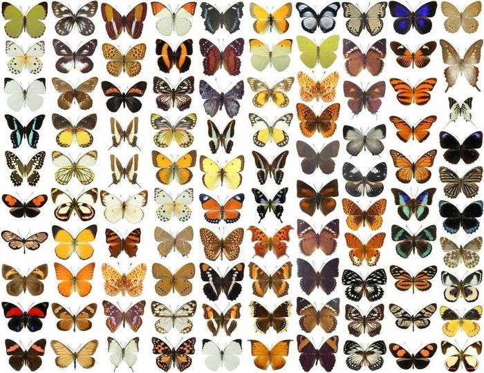 Large collection of dry-preserved exotic Butterflies - some duplication (100)