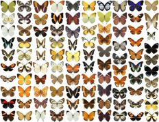 Large collection of dry-preserved unmounted Exotic Butterflies - some duplication  (100)