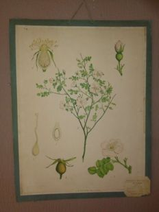 "More than 100 year old botanical school poster of the ""wild rose, Rosa Canina"""