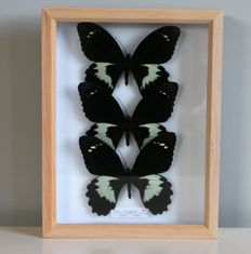 Fine Papilio Swallowtail Butterfly display - Papilio gambrisius - 30 x 26cm