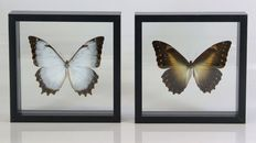 Male and female Theseus Morpho Butterflies in all-round glass cases - Morpho theseus - 15 x 15cm  (2)