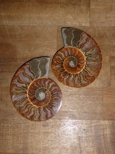 Cut and polished ammonite Aioloceras sp. - 117 mm - 365 g