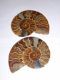 Cut and polished ammonite Aioloceras sp. - 155 mm - 740 g