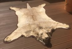 Vintage taxidermy - top quality African Lion skin, male, with fine mounted head, and felt-lined - Panthera leo - 250 x 190 cm