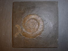 Fossil Ammonite in Shale matrix - Dactylioceras - 121 x 118 x 14mm - 359gm