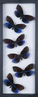 Display of Day-flying Moths - Amesia aliris - in see-through glass frame - 41 x 15cm