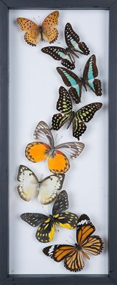 Set of various, colourful Exotic Butterflies, in see-through glass frame - 41 x 15cm