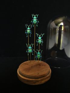 Striking set of metallic blue-green Eupholus Schoennerri Beetles, under glass dome - 10 x 20cm