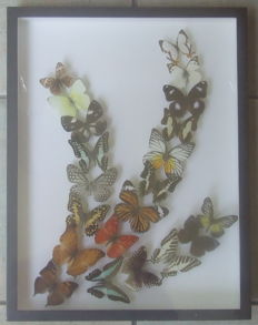 Exotic Butterflies - Lepidoptera as an art form – 45 x 34cm