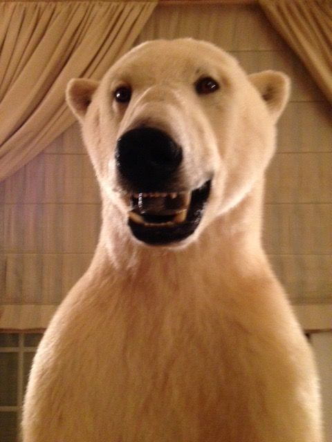Fine taxidermy - magnificent, large, full-body Polar Bear - Ursus maritimus - 2.25m - CITES Import Ref: FR12077001464