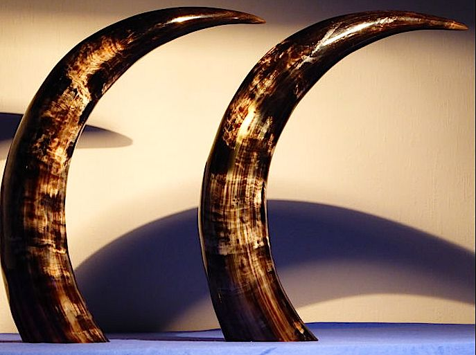 Pair of fine hand-polished Zebu horns - Bos primigenius indicus - 49cm  (2)