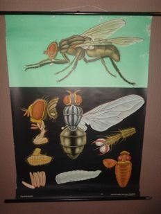 """Old anatomical school poster of the """"housefly"""""""