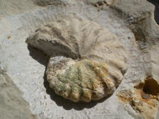 Ammonite - NICKLESIA Pulchella - 4.2 cm